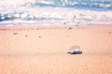 Blue jellyfish on beach