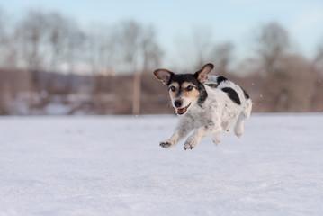 Fast Jack Russell Terrier dog is running across a meadow in snowy winter