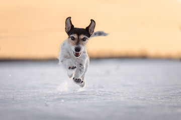 Jack Russell Terrier dog is running fast in a atmospheric sunrise