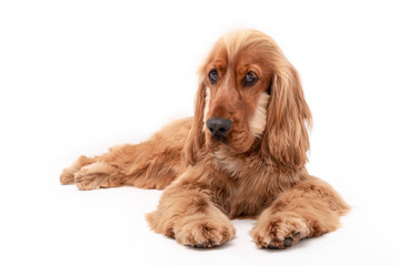 15 Month old cocker spaniel photo shoot isolated on white background