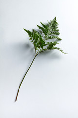 Fresh fern leaf on gray background with copy space. Natural layout. Top view
