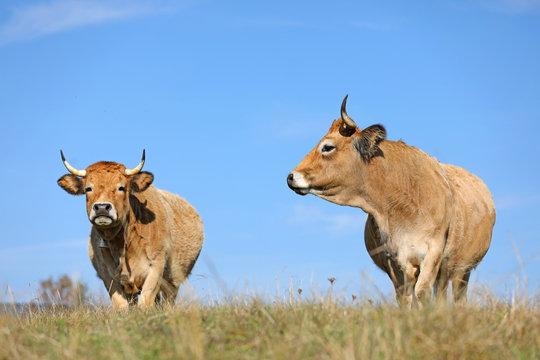 Vaches de race Aubrac. Aveyron, Auvergne