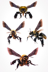 Pictures of many flying bee with white background, isolated bees, macro photography of bees in high resolution, flying dangerous bees.