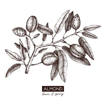 Vector Almond illustration. Hand drawn  nut tree sketch. Botanical design template. Vintage tonic plant drawing