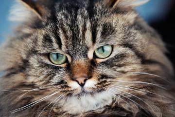 Sad fluffy cat