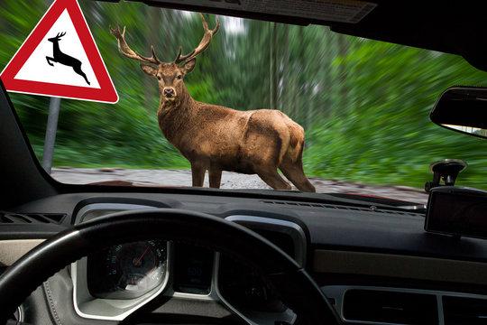Vorsicht Wildwechsel - Hirsch überquert Waldweg
