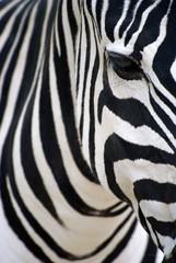 Photo sur Plexiglas Zebra Portrait animal. Gros plan sur la tête et le corps d'un zèbre