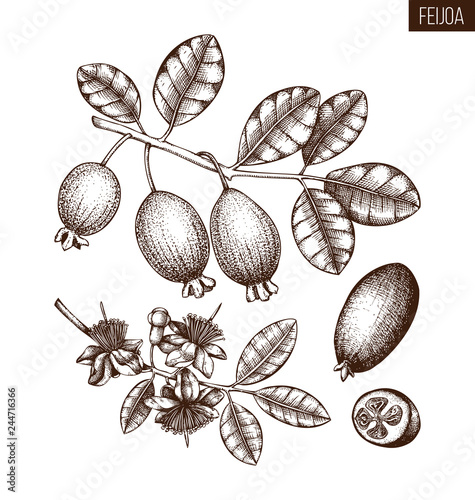 Guava Tree Drawing Images
