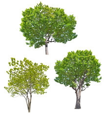 three lush green trees isolated on white