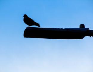 Pigeon on guard