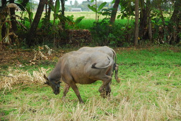 buffaloes look for grass in the fields