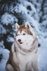 Gorgeous and happy beige dog breed siberian husky sitting on the snow in the fairy winter forest