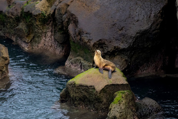 California Sea Lion sitting on rocks in morning light in La Jolla, San Diego, California