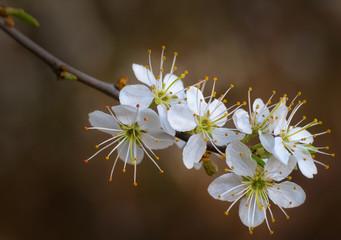 Schwarzdornblüten