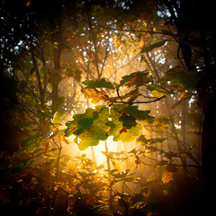 oak forest in autumn, with the sun's rays filtering through the branches.