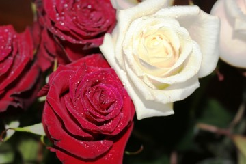 Beautiful roses covered with dew. They are given to their beloved women.
