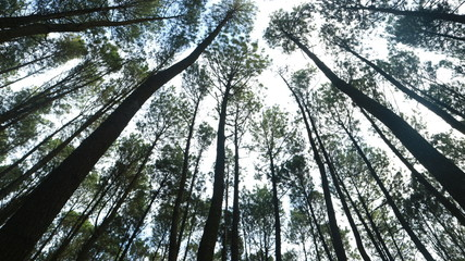The beauty of pine forests is the most beautiful tourist spot in a certain area