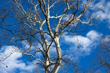 A view of the blue sky and white clouds under the tree.