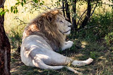White lion has rest in shadow in safari park Taigan, Crimea