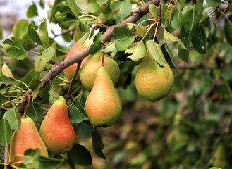 Ripe pears on branch on the background of blurred foliage.
