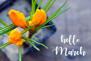 Hello March greeting card with yellow crocus first spring flowers in a flowerpot on old wooden background.Springtime concept.Selective focus.