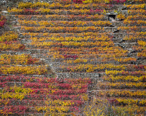 Red and yellow tones in the vines of Mencía grape
