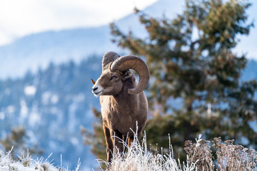 Ram male bighorn sheep standing on the edge of a cliff with frosty winter grasses.