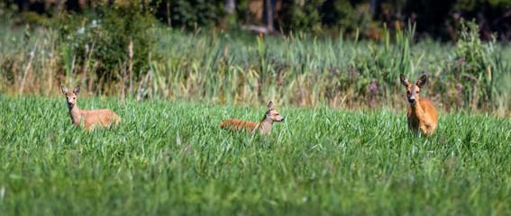 Photo sur Plexiglas Roe roe deer doe with fawn in green field in summer
