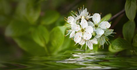 weiße Blüten am Wasser
