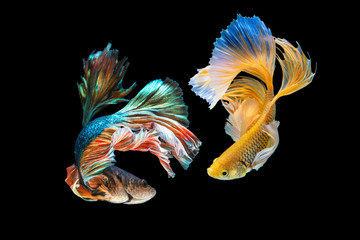 Foto op Plexiglas Vissen The moving moment beautiful of green and yellow siamese betta fish or half moon betta splendens fighting fish in thailand on black background. Thailand called Pla-kad or dumbo big ear fish.