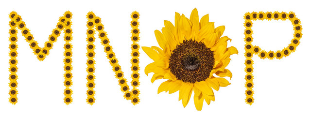 High resolution large color floral/flower characters/letter set M N O P constructed from sunflower blossom macros on white background