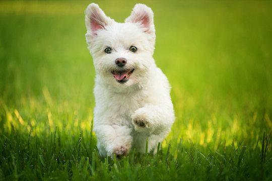White dog running