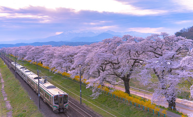 JR Tohoku train railroad track with row of full bloom cherry tree along the Shiroishi river with mountain background in Funaoka Castle Park, Miyagi, Japan
