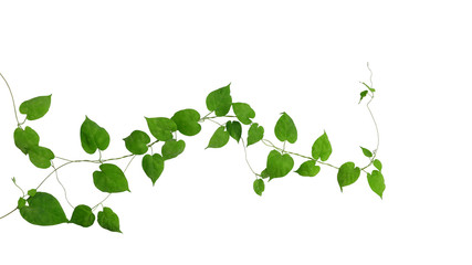 Wall Mural - Heart shaped green green leaves climbing vines ivy of cowslip creeper (Telosma cordata) the creeper forest plant growing in wild isolated on white background, clipping path included.