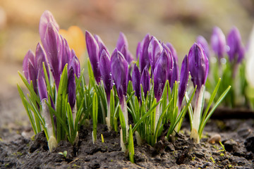 Aluminium Prints Crocuses Young flowers of purple crocus grow on a flowerbed in the early spring under a warm sun