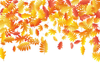Oak, maple, wild ash rowan leaves vector, autumn foliage on white background.