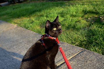 Black cat outside on a leash on the sidewalk in the early evening