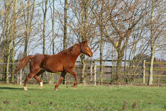 Altes Pferd trabt auf der Weide