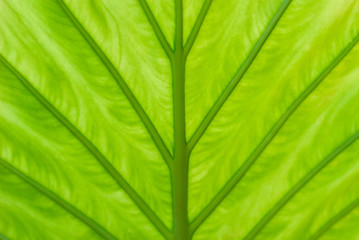 Detail of a leaf of an alocasia plant, of its green shades and its supporting ribs