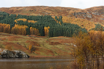 Pine Trees at Glen Orchy in Scottish Highlands
