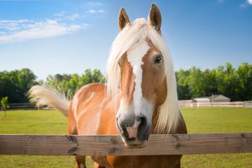 Obraz palomino horse - fototapety do salonu