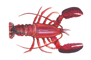Acrylic illustration of a big red lobster on a white background. Sea food illustration,