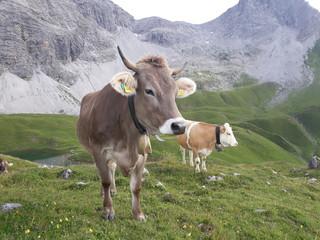 Braunvieh auf Wiese in den Alpen