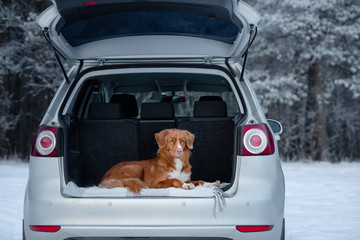The dog is in the car. travel with a pet. Transportation of an animal in transport. Healthy lifestyle. Nova Scotia Duck Tolling Retriever.