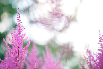 Astilbe flowers blooming in summer. Selective focus and shallow depth of field.