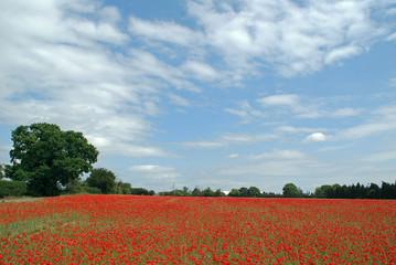 Poppy fields in an English summer