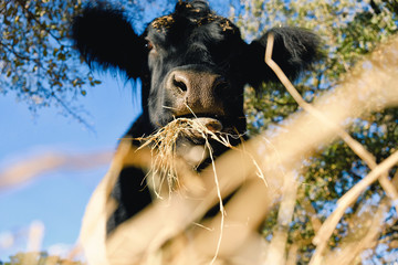 Wall Mural - Cute cow eating hay on farm, rural animal lifestyle image.