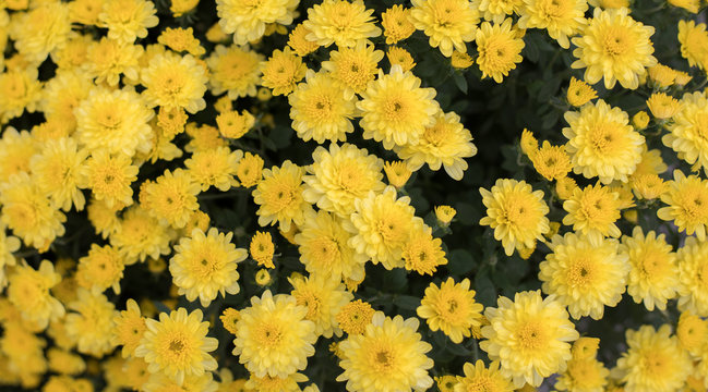 A beautiful background photo of bright yellow mums with a shallow depth of field.