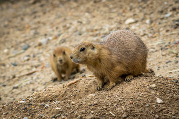 Close Up Nature Photo of Prairie Dogs Standing Beside a Hole at a Wildlife Preserve