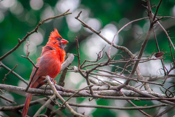 Colorful, Close Up Nature Photo of a Red Cardinal Perching on a Tangled Branch - with a Raised Crest, and Trees and Other Branches in the Background, in a Forest in the Eastern Us